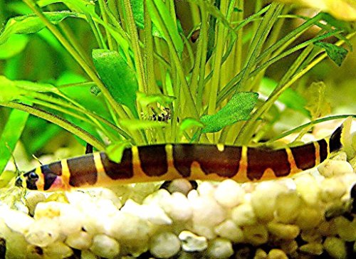 2' Banded Kuhli Loach Live Fish Aquatic Pets