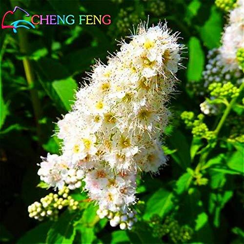Green Seeds Co. 100 pcs/sac False Spiraea bleu et fleur vivace bonsaï plante très facile pour cour * Grden Bonsai Plants pot flores bons: marron