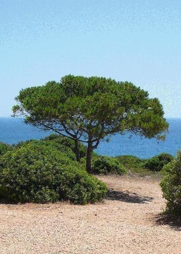 TROPICA - Mittelmeer - Pinie (Pinus pinea) - 6 Samen