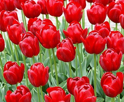 1000 16kinds PC cour tulipes rayées bleu de haute qualité des graines graines de fleurs, graines de bonsaï rares du monde, plante des fleurs, rouge