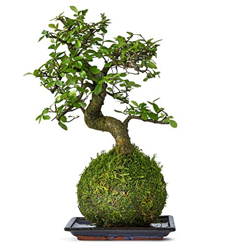 Bonsai Tree Kokedama House And Desktop Plant - Real Live Indoor Bonsai Mature The Green Moss Ball Is The New Art With Japanese Zen Gardens And Is A Unique Idea As A Bonzai Gardening Gift - 25cm High