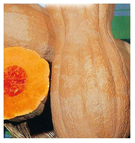 35 Aprox. - Graines de citrouille Butternut Rugosa - Cucurbita moschata Dans emballage d'origine Fabriqué en Italie - Citrouilles ridé
