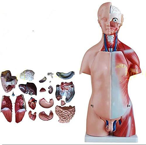 JN Modèle d'organes Humains 45 cm Modèle Unisexe Torse détaillée Modèle du Corps Humain A 23 Amovible d'organes Humains for l'étude des étudiants en médecine modèle d'organe médical