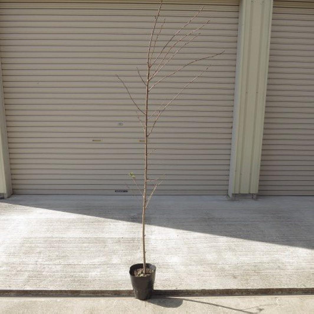 文明降雨規範ソメイヨシノ桜苗  1.5m前後の 染井吉野桜の苗ですので 植樹におすすめの 樹形の良い染井吉野サクラ苗です
