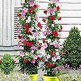 100pcs Arrampicata Mandevilla sanderi Dipladenia sanderi Piante Bonsai perenne Fiore in Vaso Giardino della casa Fai da Te: Mix