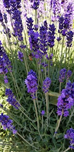 """Findlavender - Hidcote Blue Lavender Plant - 4"""" Size Pot - 8 Live Plants"""