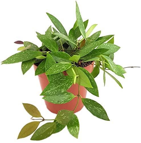 Fangblatt - Hoya gracilis - marmorierte Porzellanblume/Wachsblume im Ø 12 cm Topf - Zimmerpflanze zum hängen - pflegeleichte Pflanze