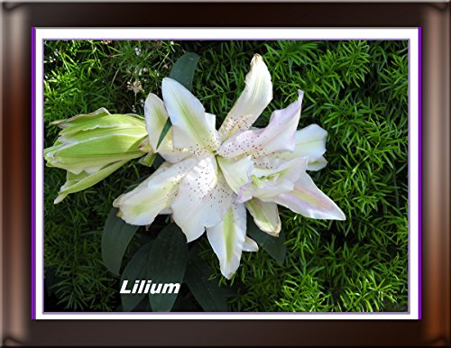 Lilium double Miss Lucy 2017 (English Edition)