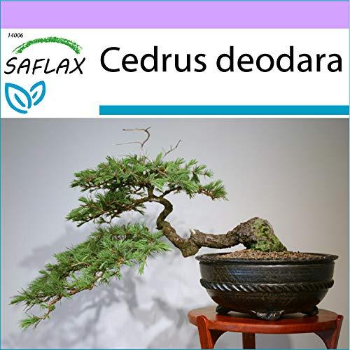 SAFLAX - Cèdre de l'Himalaya - 35 graines - Cedrus deodara