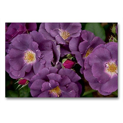 Premium Textil-Leinwand 90 x 60 cm Quer-Format Rose Rhapsody in Blue | Wandbild, HD-Bild auf Keilrahmen, Fertigbild auf hochwertigem Vlies, Leinwanddruck von Winfried Rusch - www.w-rusch.de