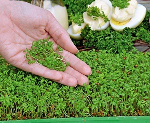 Microgreens - Berro de jardín - Hojas jóvenes con sabor excepcional. - 1800 semillas