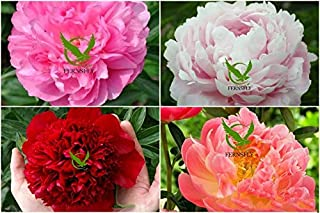 FERNSFLY IMP. Peonies / Peony Excellent Quality Flower Bulbs for Attractive Aromatic Flowers Home Gardening Perennial Plan...