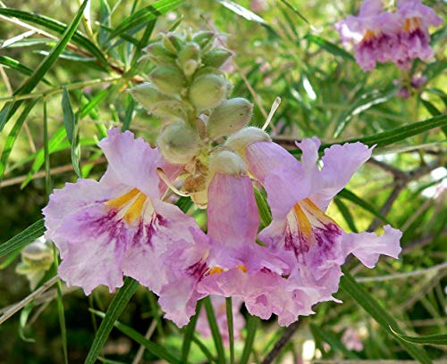 Shoopy Star 60 graines: houx, Ilex aquifolium, Graines d'arbres (Showy àfeuilles persistantes, couverture)