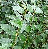 Shop Meeko 5: Ligustrum ovalifolium. Comunemente noto come ligustro e cresciuto estesamente come copertura. (5)