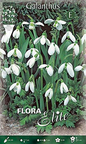 Flora Elite 404108 Elwes Schneeglöckchen (10 Stück) (Schneeglöckchenzwiebeln)