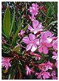 TROPICA - Oleander (Nerium oleander) - 50 Samen