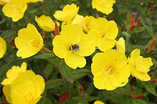 Nachtkerze - Oenothera biennis - Blume - 1000 Samen