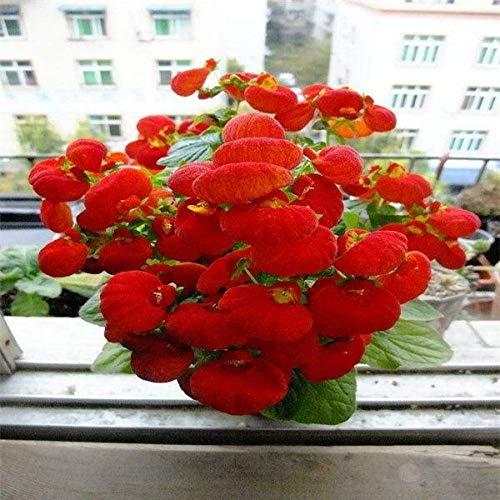 Kalash New 100PCS Calceolaria ausdauernde Blumensamen für Garten rot