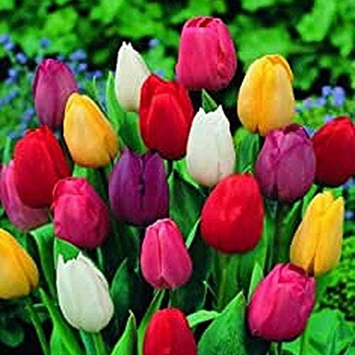 5 Piezas Mezcla De Paisaje Tulipán Bulbos Coloridos Bulbos De Flores De Tulipán Perenne Para El Patio Del Hogar Y El Jardín Hierba Perenne Fuerte Adaptabilidad Fácil De Cuidar