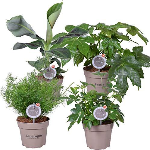 MoreLIPS® - Mix aus 4 luftreinigenden Zimmerpflanzen - Höhe 40-45 cm - Topfdurchmesser: 15 cm - Zimmeraralie, Strahlenaralie, Kaffeestrauch, Zierspargel - Your Green Present