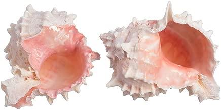 Hermit Crab Murex Shell   2 Pink Murex Sea Shell   3