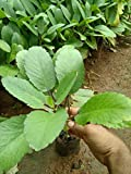 Height: 1 ft Kidney Stone Cure Medicinal Plant Healthy plant
