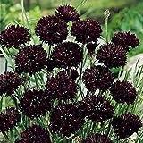 LGKO Black Bachelor Button s-e-e-ds, Black CornFlọwer s-e-e-ds, Bulk Flọwer...