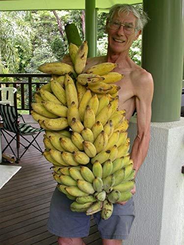 10 Bananier fruits Graines bio - Musa acuminata nain Herb USA - BKSeeds