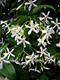 Scented Star Jasmine- 3litre deep Pot Superb Birthday Plant & Flower Gifts for All Occasions