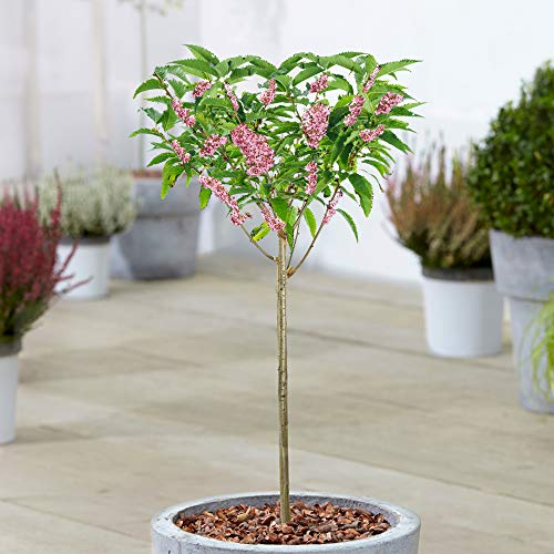Prunus Okame | Small Flowering Cherry Ornamental Patio Trees for Small Gardens (70-80cm (Incl. Pot))