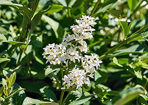Ligustro sinense'Ligustrum sinensis' pianta da siepe in vaso ø9 cm