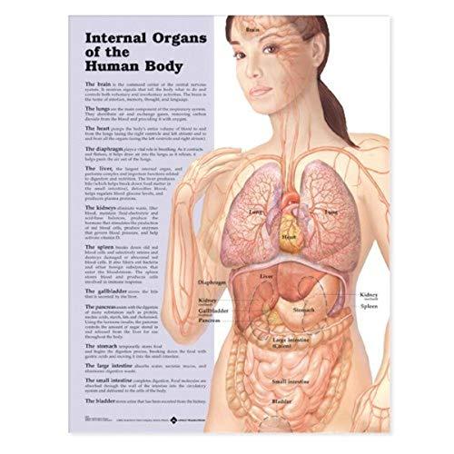Órganos Internos del Cuerpo Humano