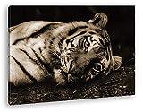 deyoli Schläfriger Tiger Format: 80x60 Effekt: Sepia als