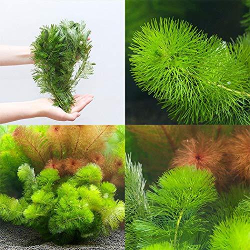 Acecoree Samen Haus Indoor Landschaftsbau Pflanze Aquarium duftenden Wasser Grassamen