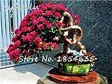Venta caliente 20 Unids Semillas de Buganvilla Semillas de Flores Perennes Coloridas Buganvillas Spectabilis Willd Semillas Jardín Bonsai Planta de Maceta