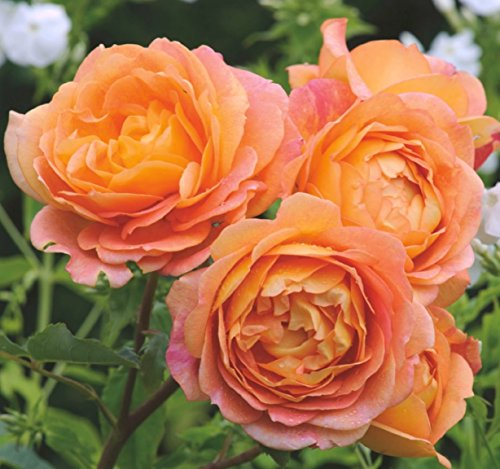 'Lady of Shalott' -R-, Englische Rose (David Austin) in A-Qualität Wurzelware