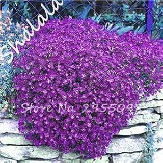 SwansGreen Rare Flower Seeds 100 Pcs Aubrieta Seeds Superb Perennial Ground Cover Plant - Rock Cress Seeds Tropical Orname...