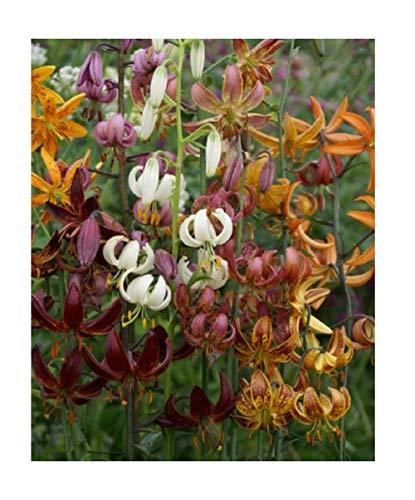 Stk - 8x Türkenbund-Lilie Mischung Tulpenzwiebeln Knolle Zwiebeln Garten K-ZK329 - Seeds Plants Shop Samenbank Pfullingen Patrik Ipsa