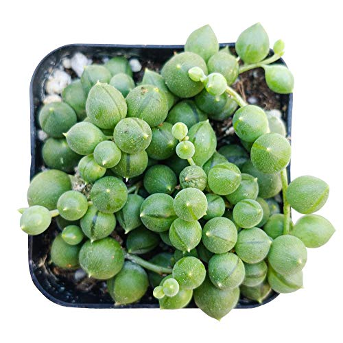String of Pearls 2 inch | Healthy Succulent String Live Easy Care Indoor House Plant Fully Rooted in 2/4/6 inch Sizes