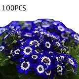 Vobome Seltene blaue Gänseblümchen-Samen-Bonsai, die Hauptblumen-Garten-Dekor pflanzen Blumensamen