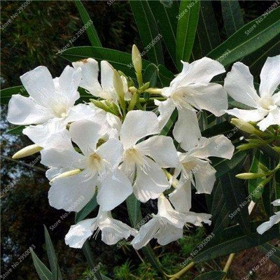 160pcs/sac importé mixte Nerium Oleander Graines vivaces en pot Charme fleur Plantation Bricolage jardin