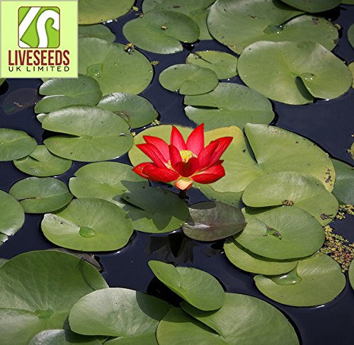 Liveseeds - Mini Yimeng Red Bonsai Lotus / Water Lily Flower / 5 graines fraîches