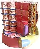 Modelo de estudio Modelo de anatomía Modelo anatómico microscópico de fibra muscular esquelética - Modelo de fibra muscular esquelética anatómica médica - Detalle muestran fibras de colágeno y fibra r