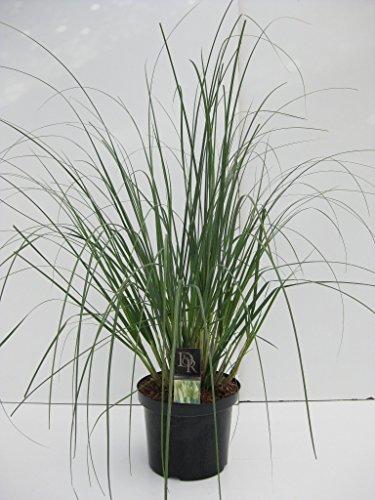 Garten-Pampasgras Farbe