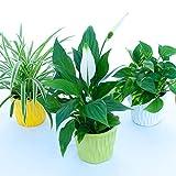 tris piante purifica aria: potos, clorofitum, spatifillum in vasi ceramica, 3 piante depura aria, piante vere