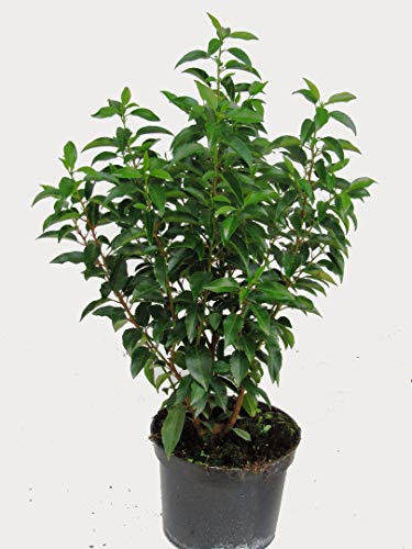 Prunus lusitanica \'Angustifolia\' - Portugiesischer Kirschlorbeer - winterharter, immergrüner Strauch - Kübelpflanze, Gartenpflanze, Hecke Sichtschutz 60-80 cm hoch