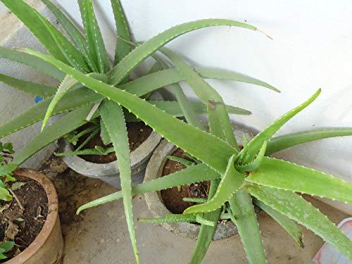 50 pcs haute qualité Aloe Vera Graines Rare Arbre Graines de plantes aromatiques Graines Livraison gratuite