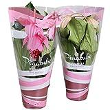 FloraStore - Medinilla Magnifica cinquième bouton en cas atmosphérique cadeau rose (1x), Hauteur55 CM, Pot Ø 17 CM, Plante d'Intérieur
