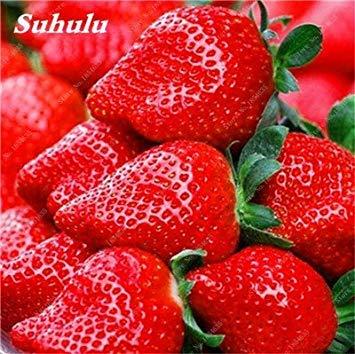 Big Promotion! 1000 Pcs Four Seasons en pot Graines Strawberry Super Sweet Seeds fruits Bonsai plantes Semences Maison et Jardin 16