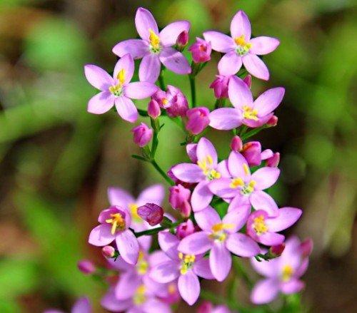 Tausendgüldenkraut Centaurium erythraea 500 Samen
